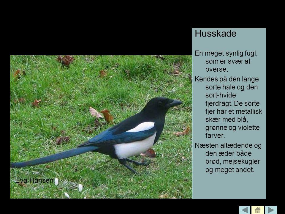 Husskade Eva Hansen En meget synlig fugl, som er svær at overse.