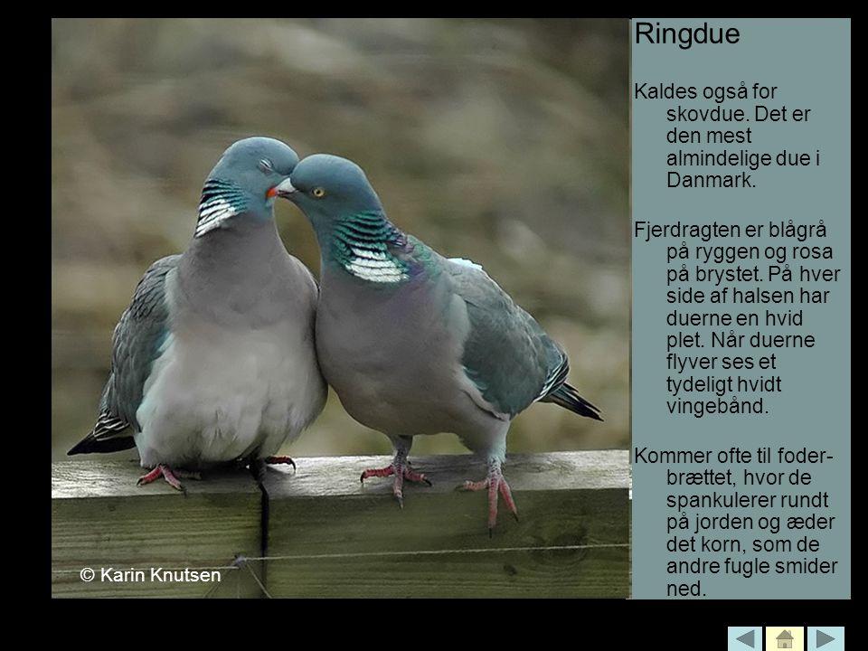 Ringdue Kaldes også for skovdue. Det er den mest almindelige due i Danmark.
