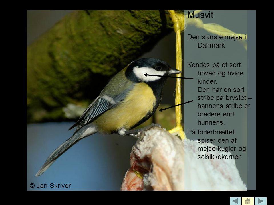Musvit Den største mejse i Danmark
