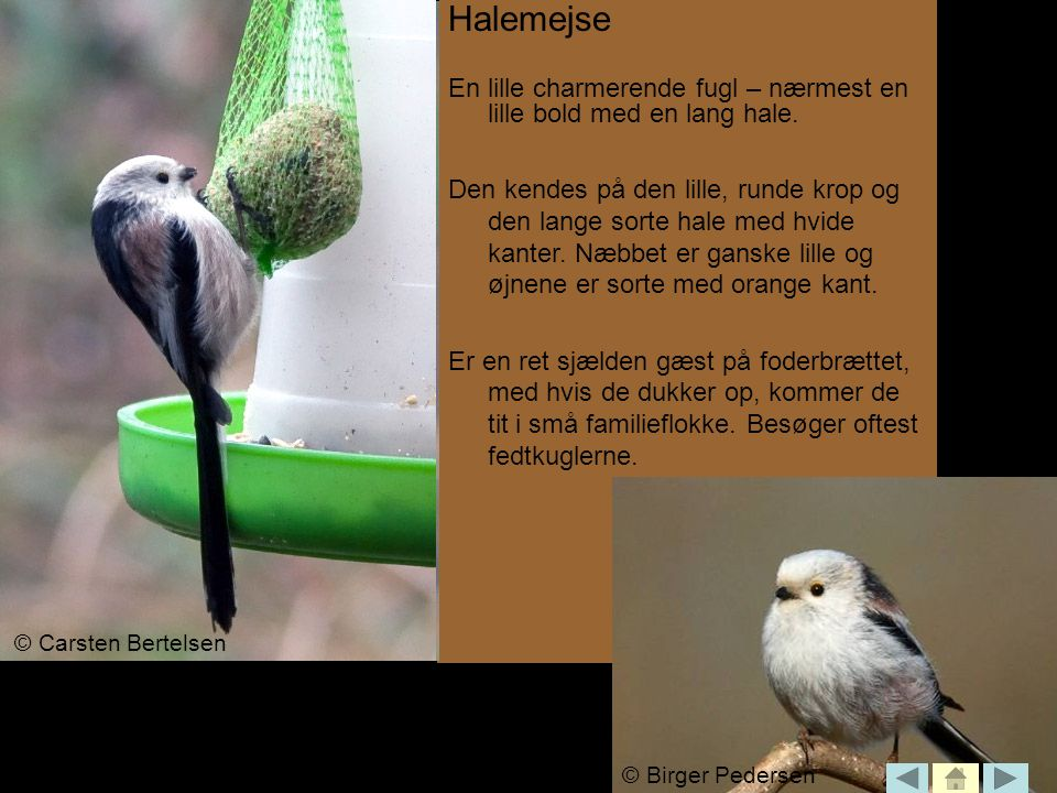 Halemejse En lille charmerende fugl – nærmest en lille bold med en lang hale.