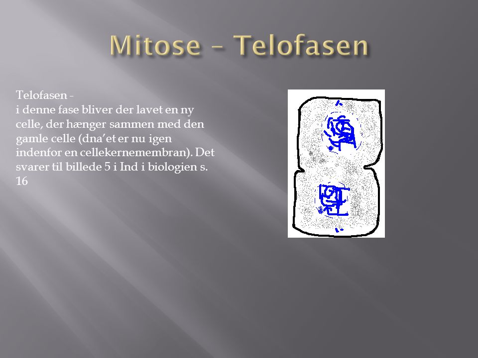 Mitose – Telofasen Telofasen -