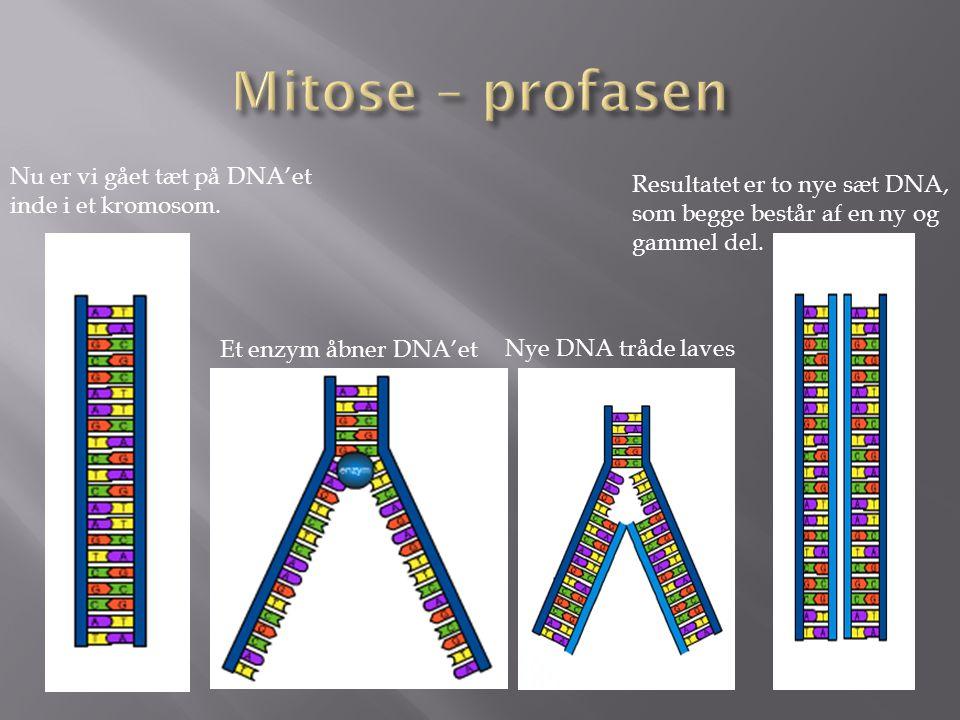 Mitose – profasen Nu er vi gået tæt på DNA'et inde i et kromosom.
