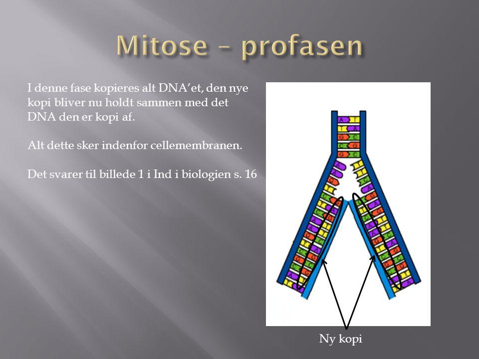 Mitose – profasen I denne fase kopieres alt DNA'et, den nye kopi bliver nu holdt sammen med det DNA den er kopi af.