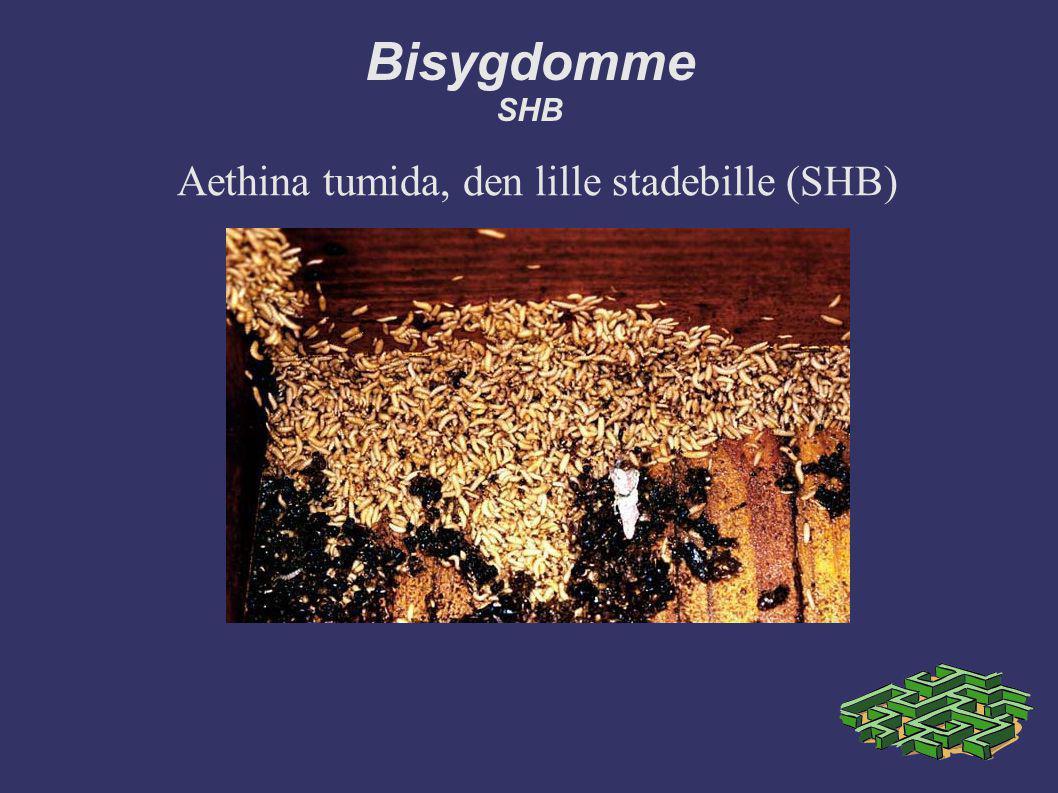Aethina tumida, den lille stadebille (SHB)