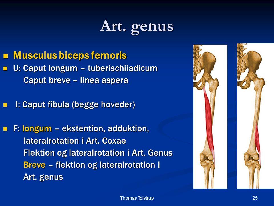 Art. genus Musculus biceps femoris U: Caput longum – tuberischiiadicum