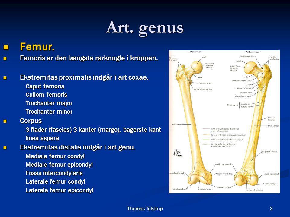 Art. genus Femur. Femoris er den længste rørknogle i kroppen.