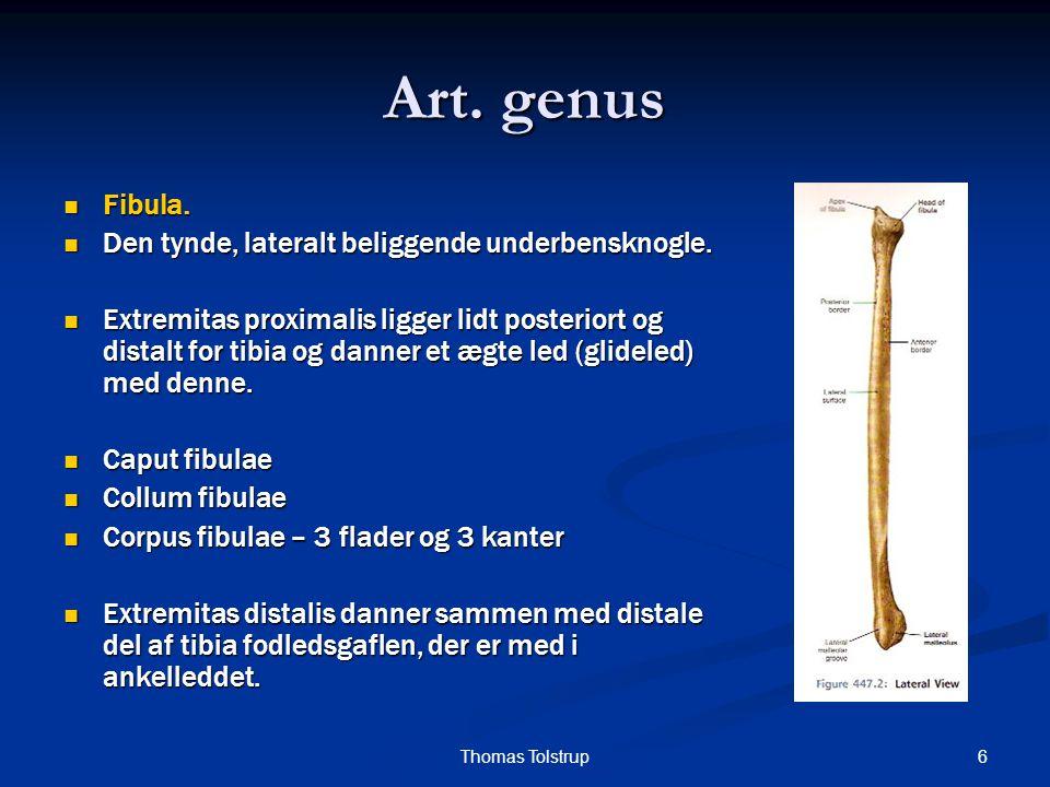 Art. genus Fibula. Den tynde, lateralt beliggende underbensknogle.