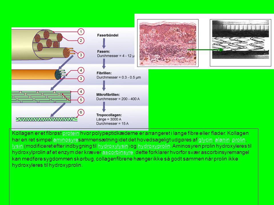 Kollagen er et fibrøst protein hvor polypeptidkæderne er arrangeret i lange fibre eller flader.