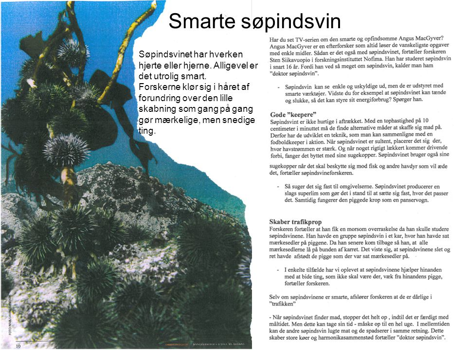 Smarte søpindsvin Søpindsvinet har hverken hjerte eller hjerne. Alligevel er det utrolig smart.