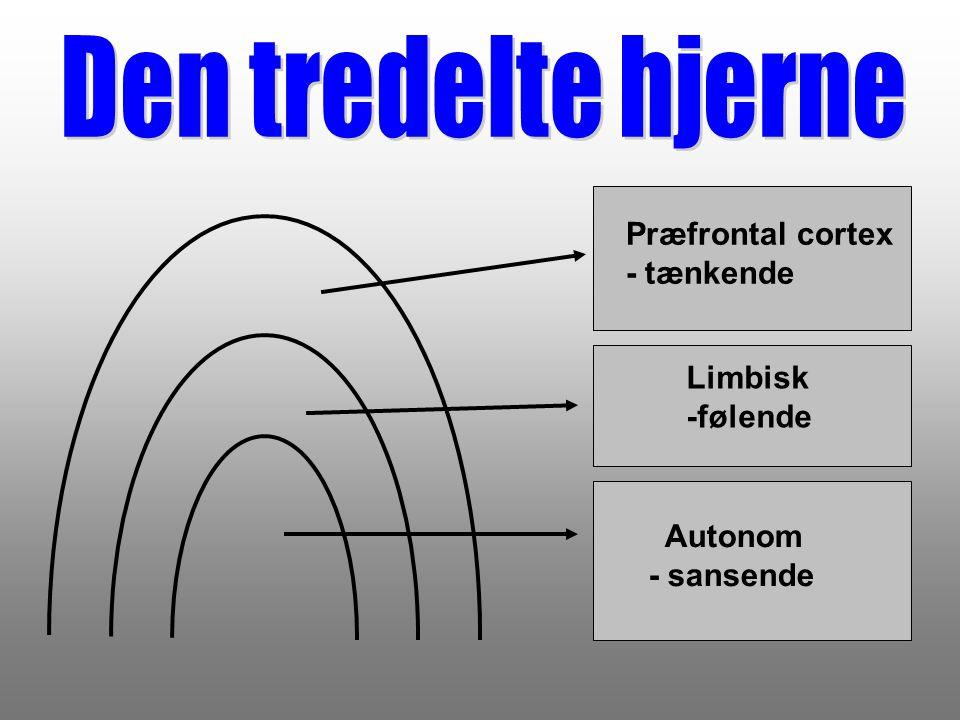 Den tredelte hjerne Præfrontal cortex - tænkende Limbisk -følende