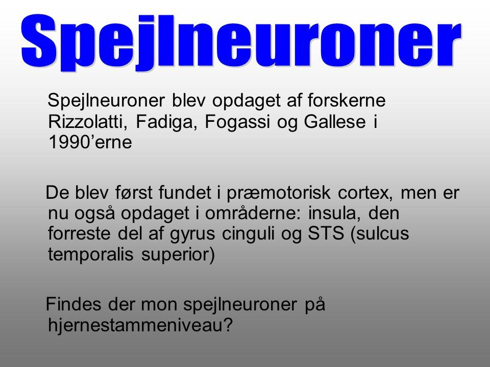 Spejlneuroner Spejlneuroner blev opdaget af forskerne Rizzolatti, Fadiga, Fogassi og Gallese i 1990'erne.