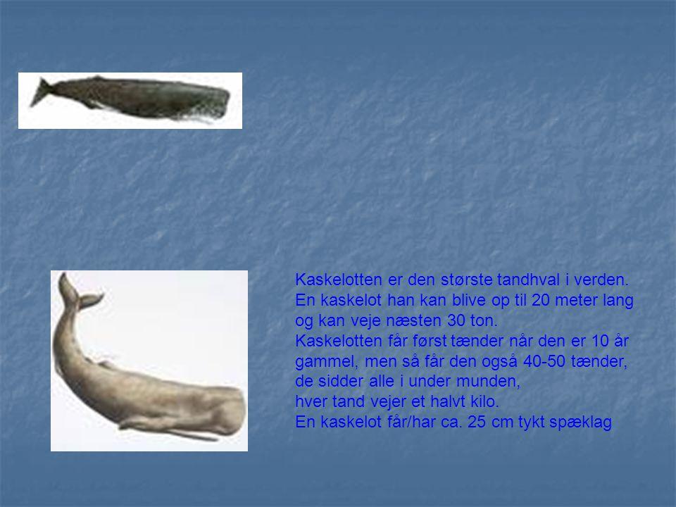 Kaskelotten er den største tandhval i verden.