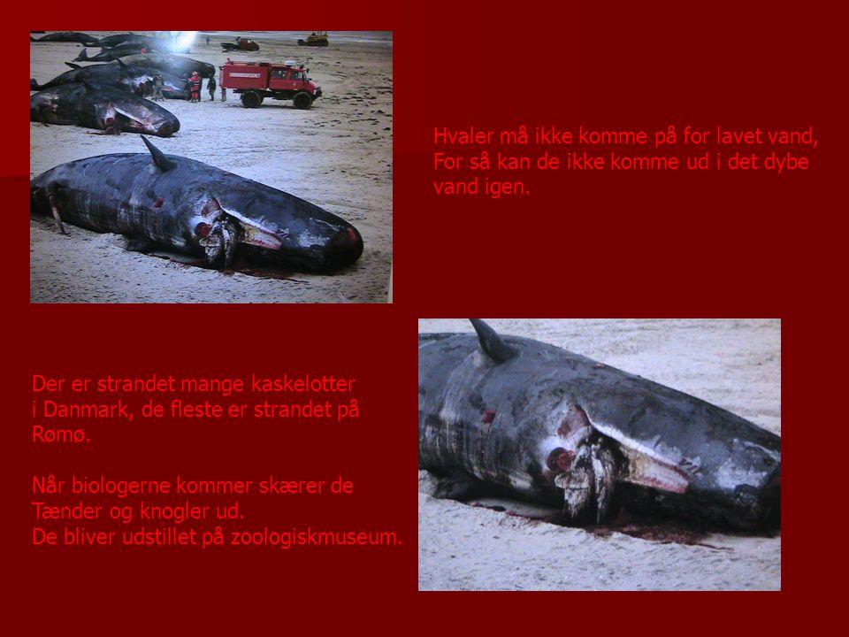 Hvaler må ikke komme på for lavet vand,