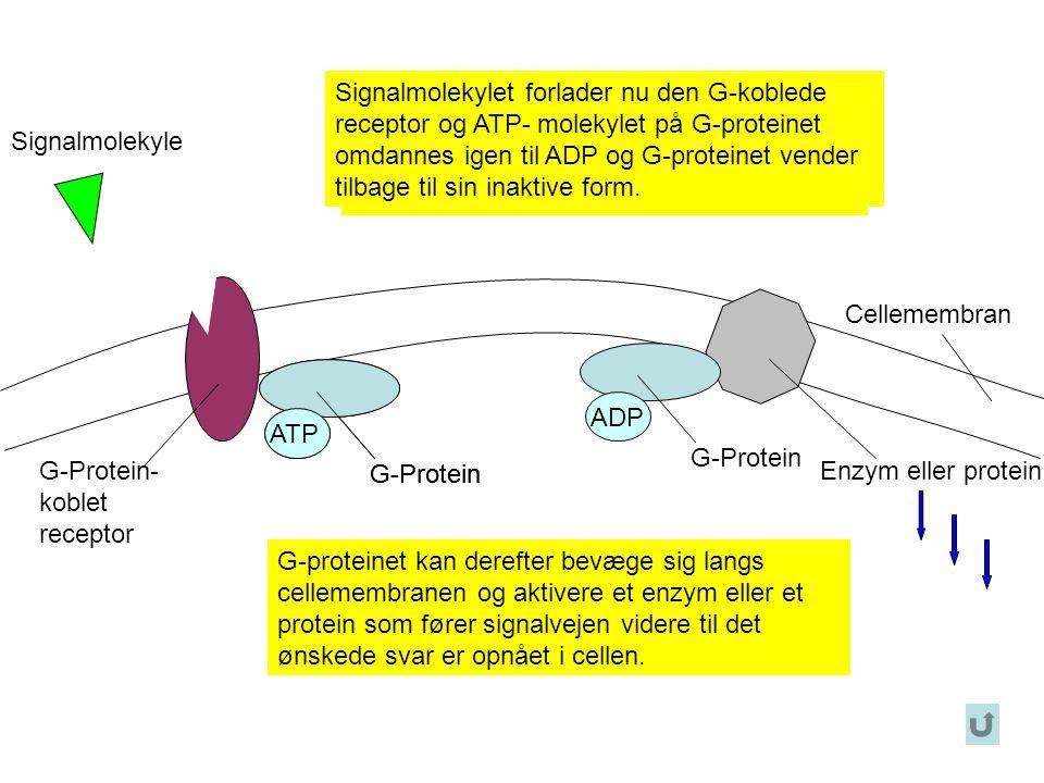Signalmolekylet forlader nu den G-koblede receptor og ATP- molekylet på G-proteinet omdannes igen til ADP og G-proteinet vender tilbage til sin inaktive form.