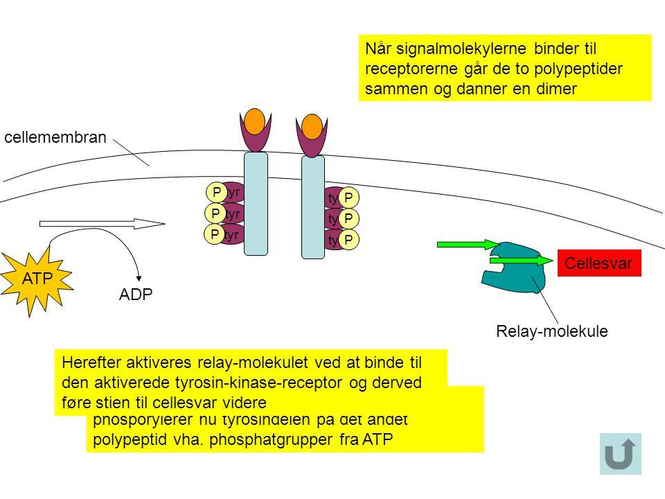 Når signalmolekylerne binder til receptorerne går de to polypeptider sammen og danner en dimer