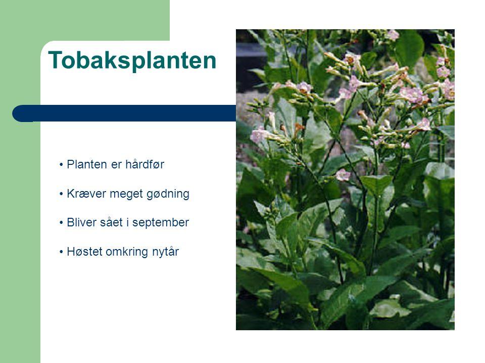 Tobaksplanten Planten er hårdfør Kræver meget gødning