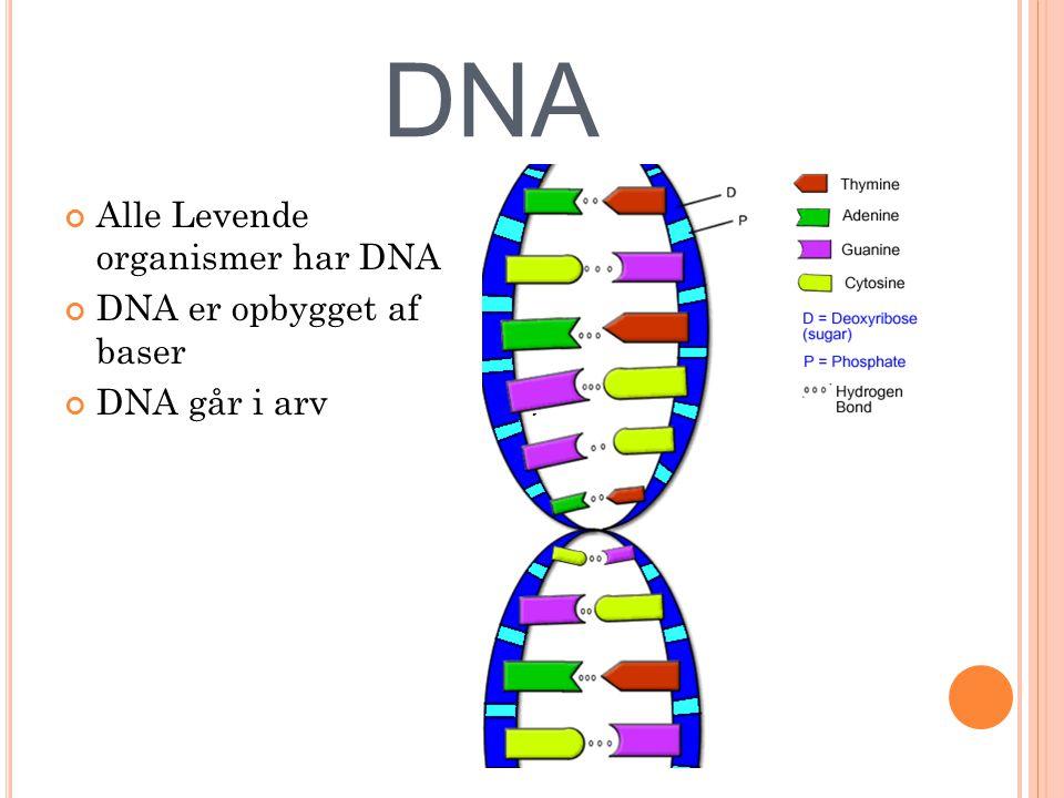 DNA Alle Levende organismer har DNA DNA er opbygget af baser