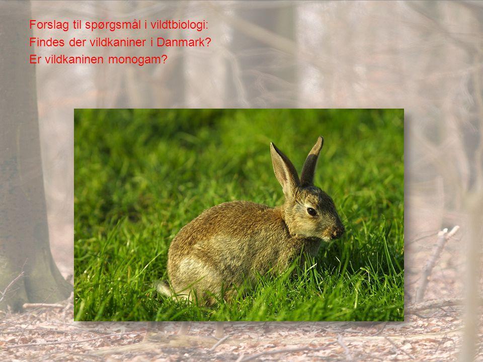 Forslag til spørgsmål i vildtbiologi: Findes der vildkaniner i Danmark