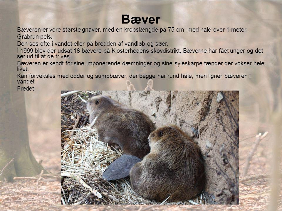 Bæver Bæveren er vore største gnaver, med en kropslængde på 75 cm, med hale over 1 meter. Gråbrun pels.