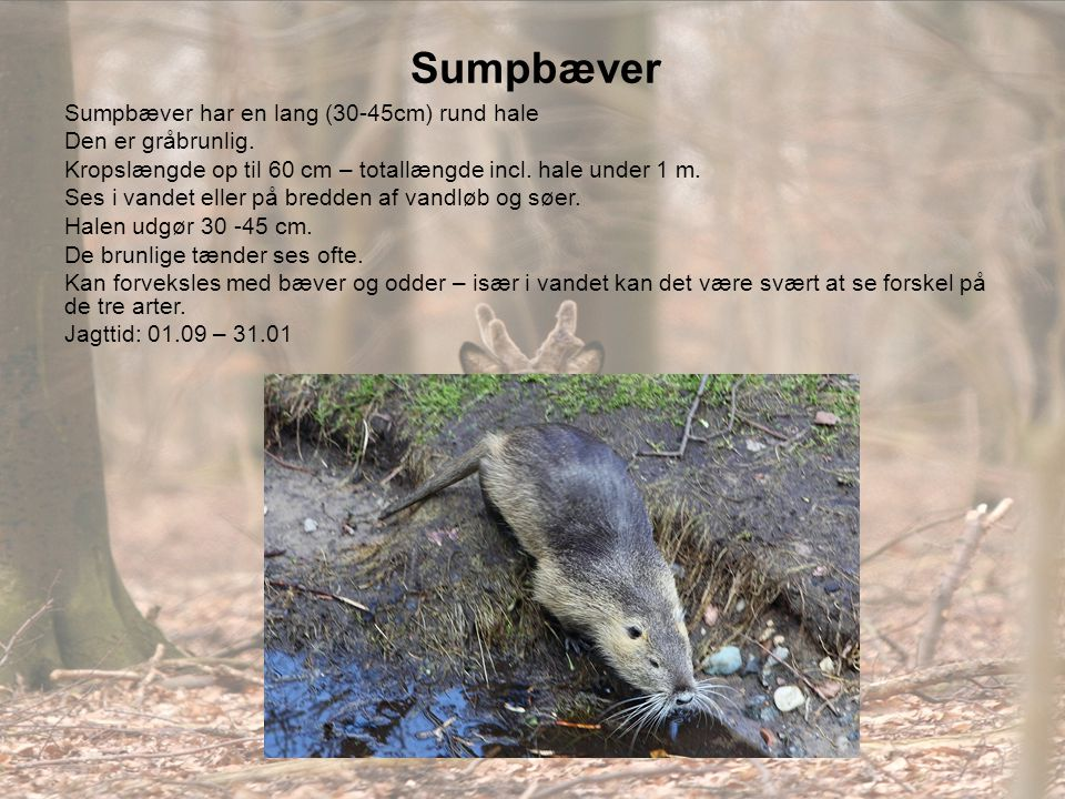 Sumpbæver Sumpbæver har en lang (30-45cm) rund hale Den er gråbrunlig.