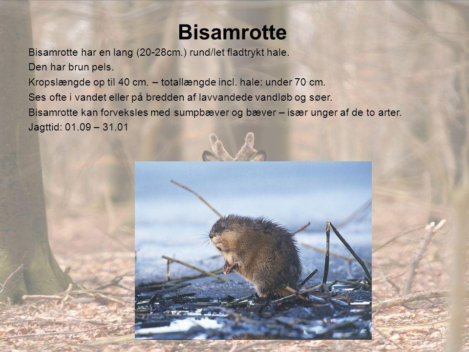 Bisamrotte Bisamrotte har en lang (20-28cm.) rund/let fladtrykt hale.