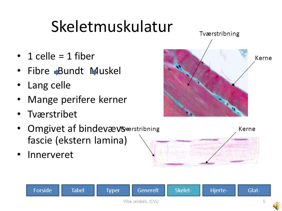 Skeletmuskulatur 1 celle = 1 fiber Fibre Bundt Muskel Lang celle