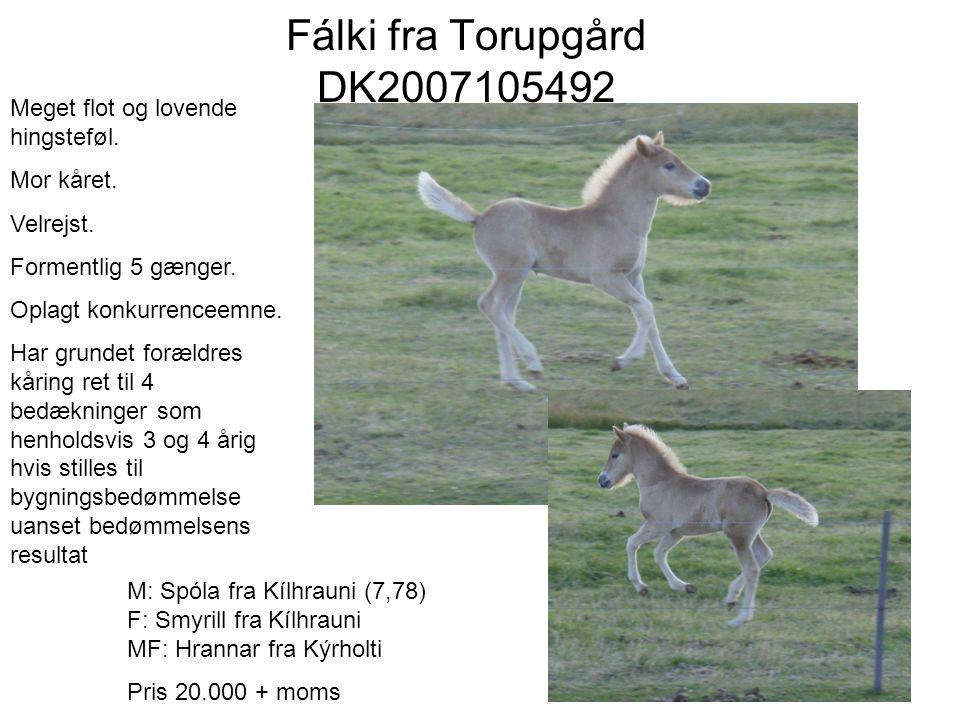 Fálki fra Torupgård DK2007105492 Meget flot og lovende hingsteføl.