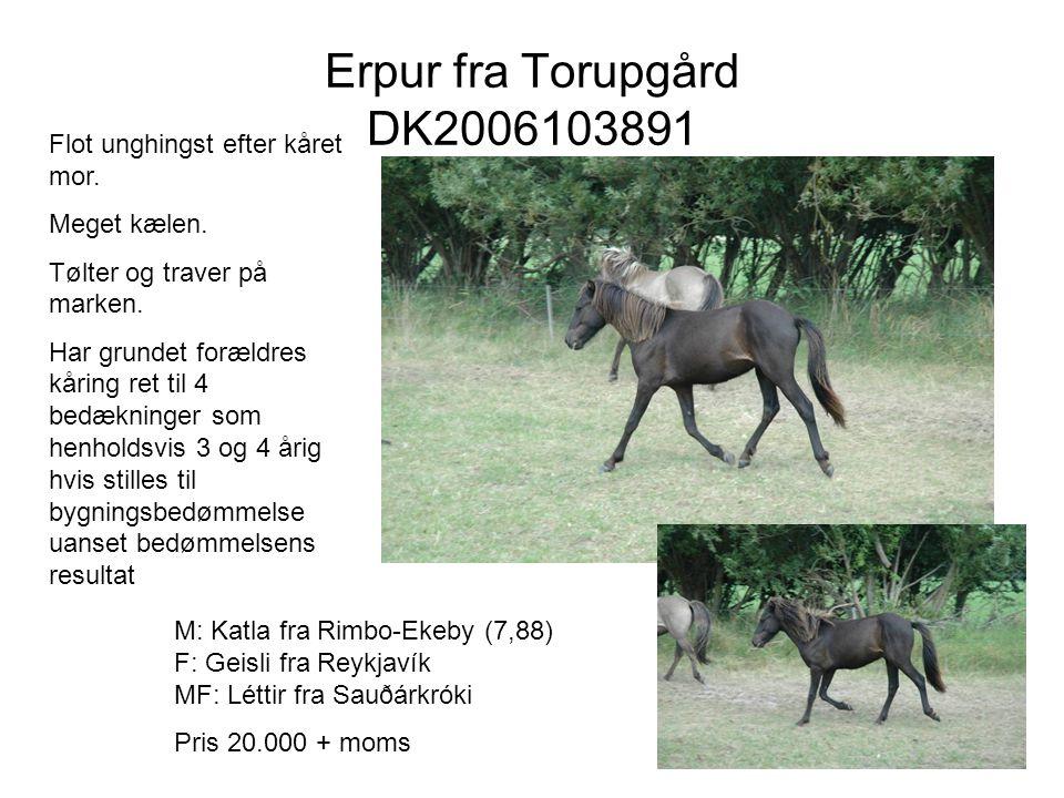 Erpur fra Torupgård DK2006103891 Flot unghingst efter kåret mor.