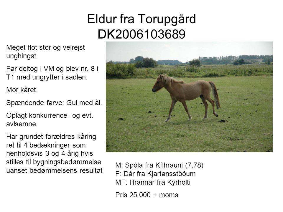Eldur fra Torupgård DK2006103689 Meget flot stor og velrejst unghingst. Far deltog i VM og blev nr. 8 i T1 med ungrytter i sadlen.