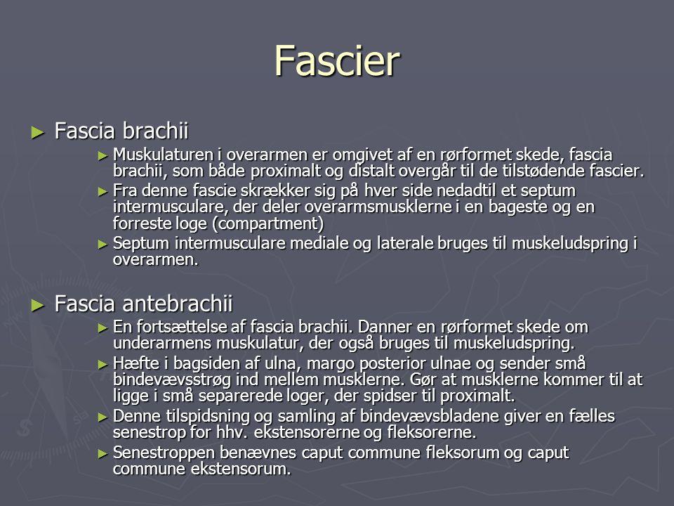 Fascier Fascia brachii Fascia antebrachii