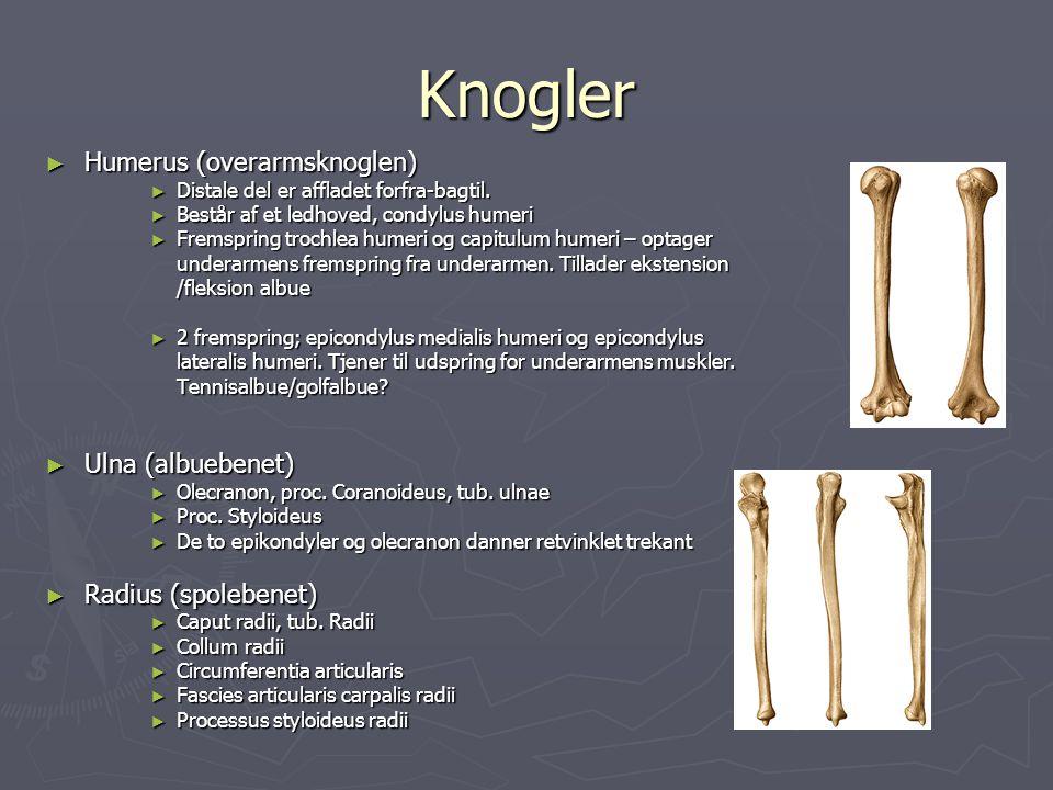 Knogler Humerus (overarmsknoglen) Ulna (albuebenet)
