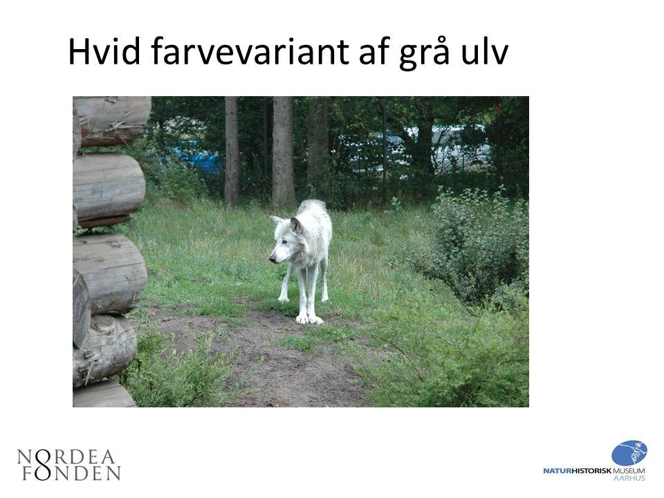 Hvid farvevariant af grå ulv