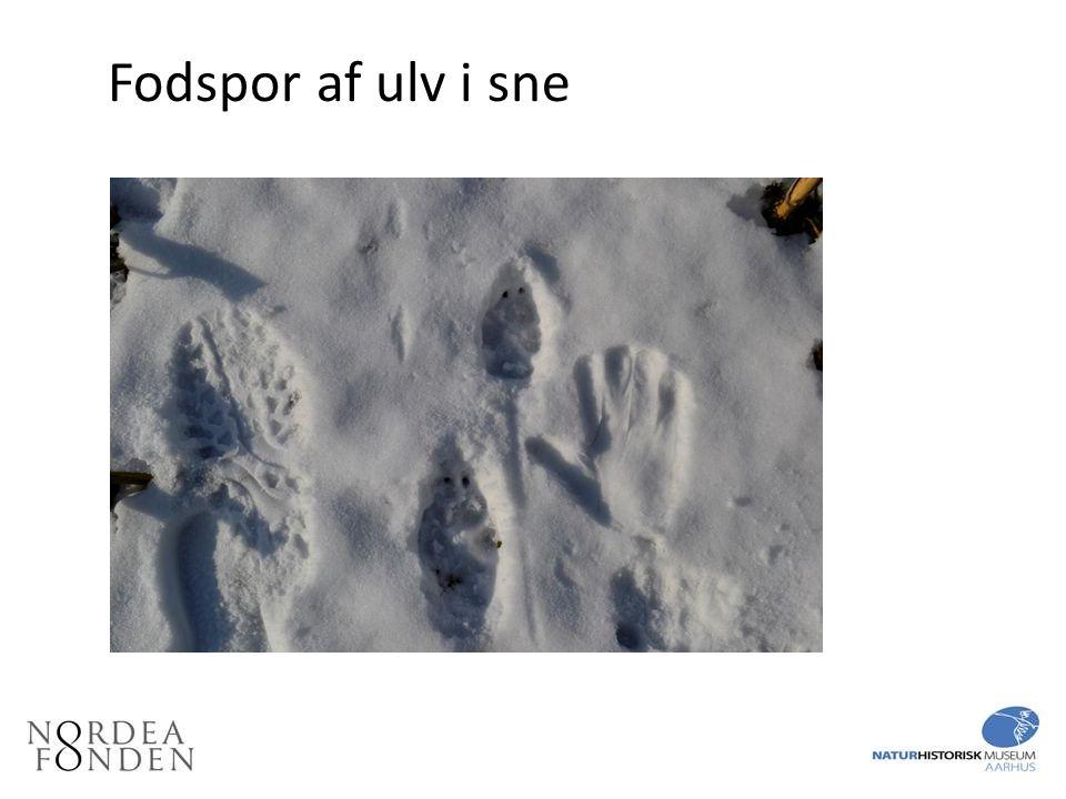 Fodspor af ulv i sne Fodspor af ulv i sne. Håndaftryk med skihandske til højre.