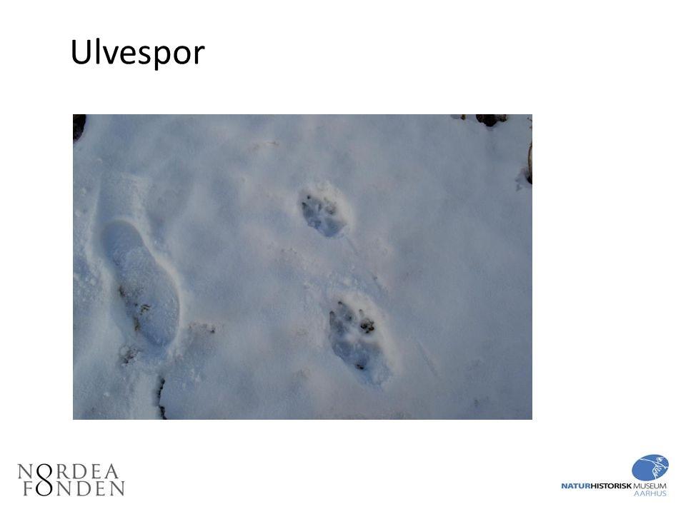 Ulvespor Flere ulvespor. Forpote er den store nederst. Til venstre størrelse 43 skoaftryk.