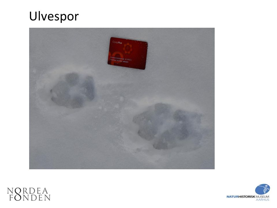 Ulvespor Fodspor af ulv i sne. Sporene er ca. 10 – 12 cm lange.