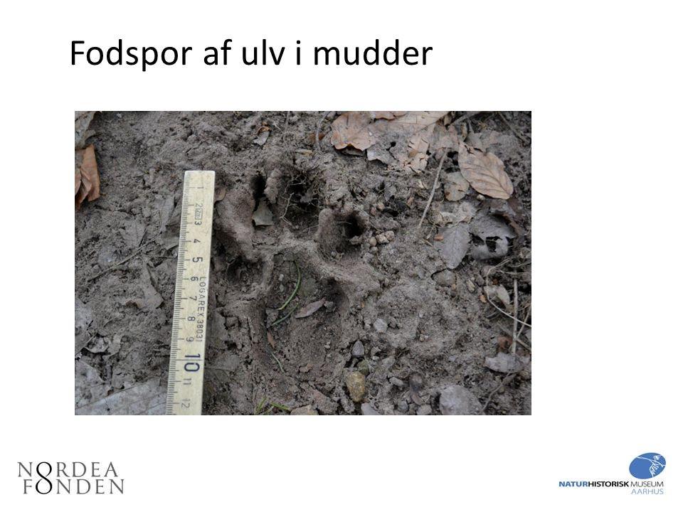 Fodspor af ulv i mudder Fodspor af ulv i mudder. Det kan være vanskeligt at skelne fra en hund.