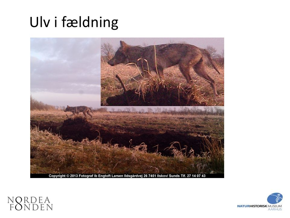 Ulv i fældning Billede fra fotofælde visende en ulv i fældning.