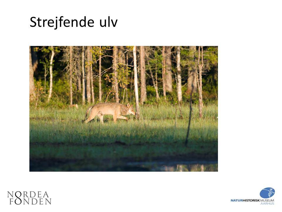 Strejfende ulv I Danmark ses endnu kun enlige strejfende ulve.