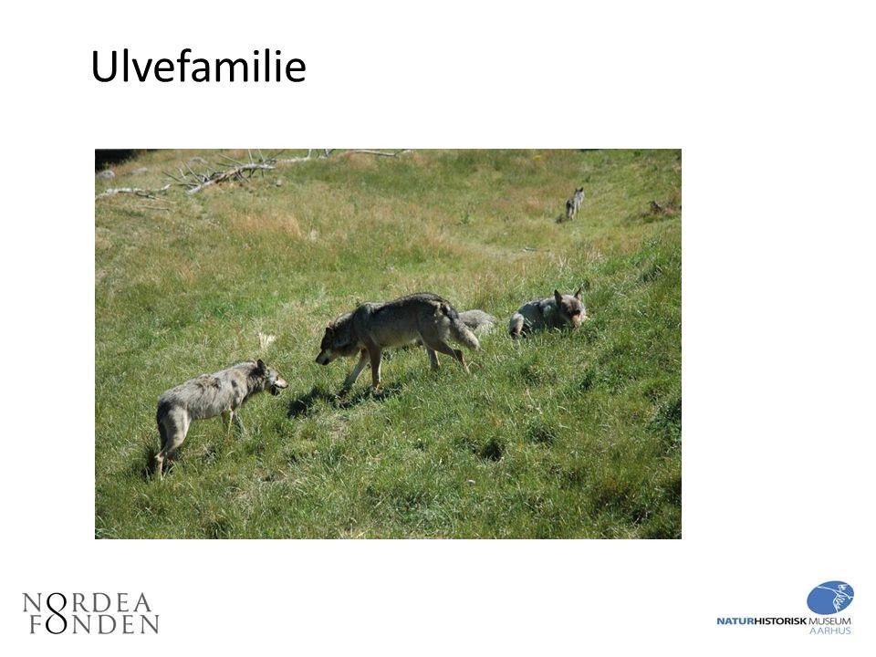 Ulvefamilie