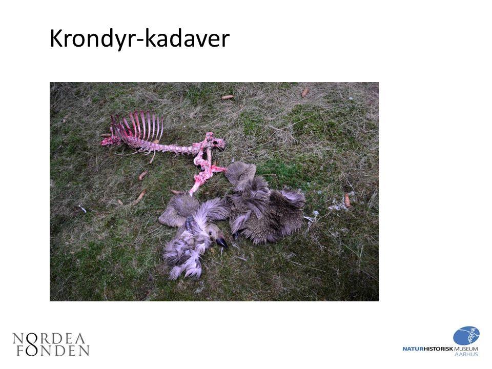 Krondyr-kadaver Krondyr-kadaver. Krondyret blev ædt af en ulv.