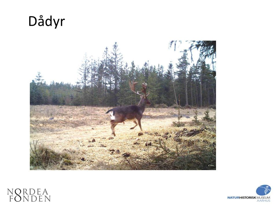 Dådyr Dådyr, som ligeledes er byttedyr for ulve, er en introduceret art, der breder sig i Danmark bl.a.