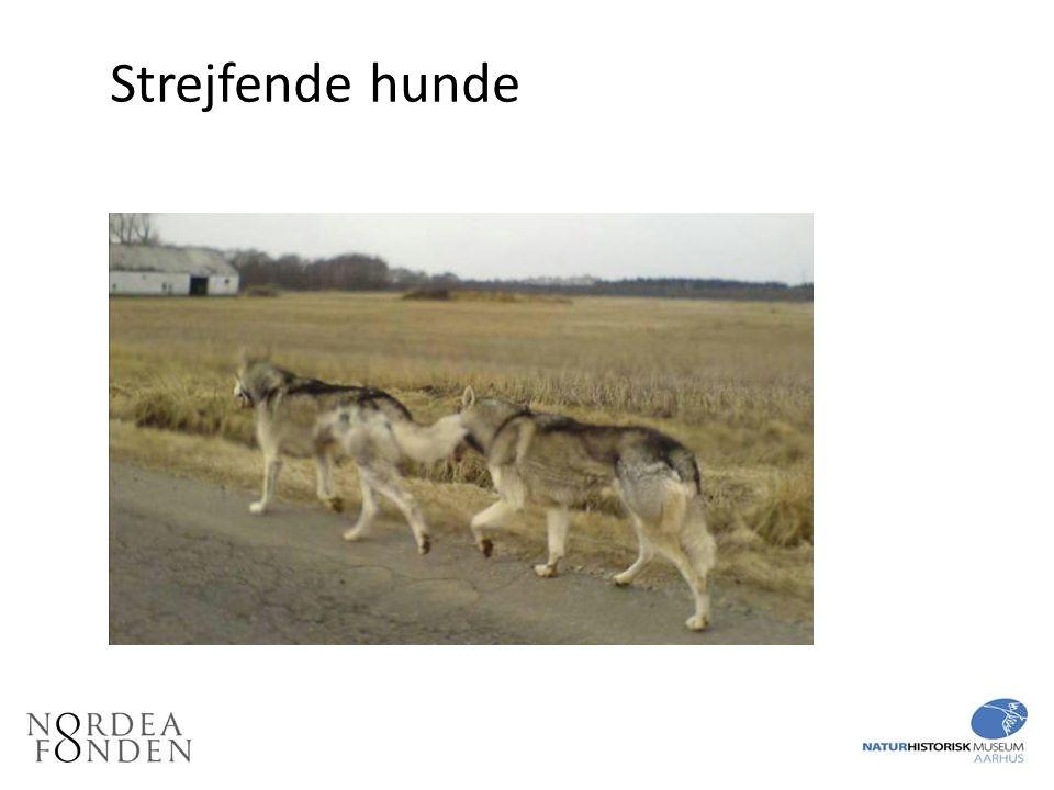 Strejfende hunde Strejfende hunde forveksles ofte med ulve, især tjekkiske ulvehunde og slædehunde.