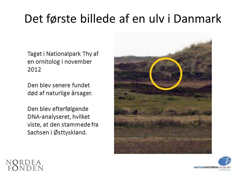 Det første billede af en ulv i Danmark
