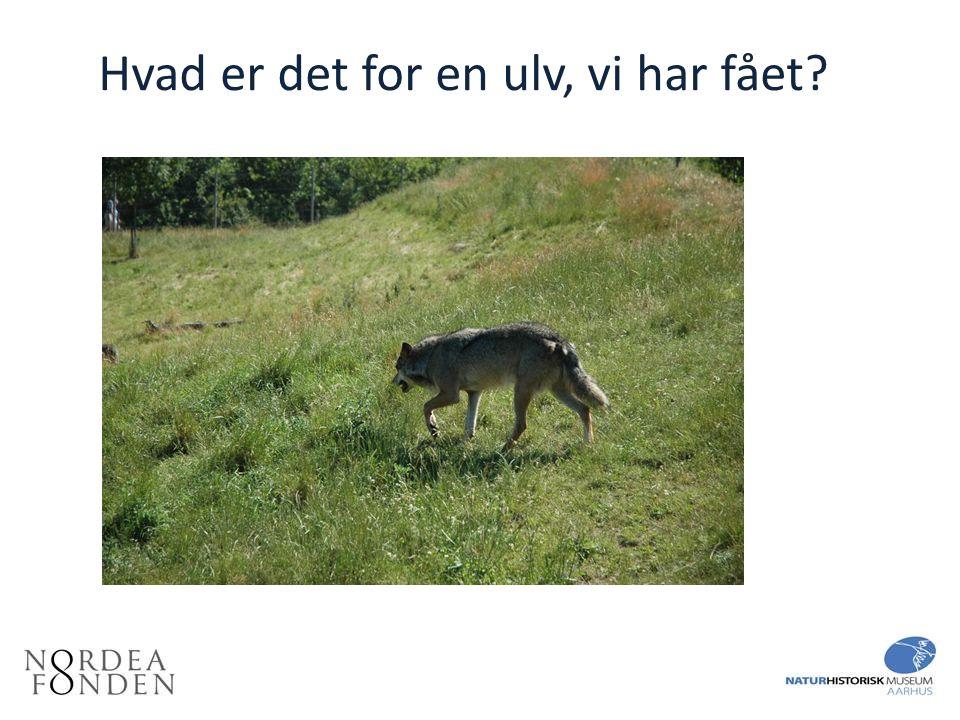 Hvad er det for en ulv, vi har fået