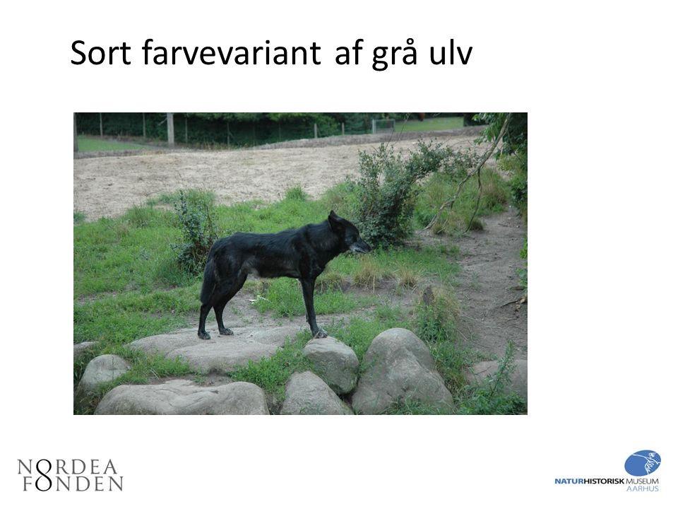Sort farvevariant af grå ulv