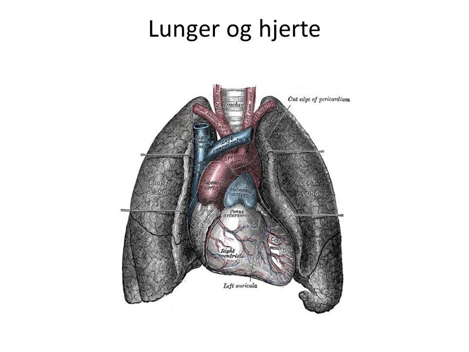 Lunger og hjerte Hjertet passer fint mellem lungerne.