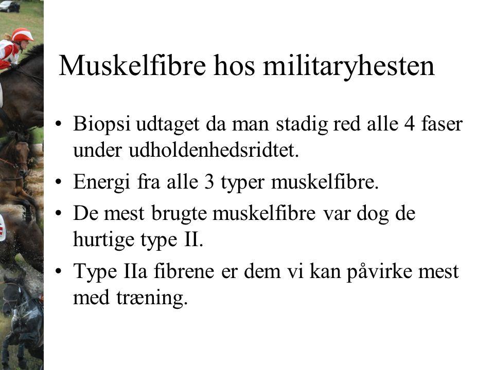 Muskelfibre hos militaryhesten