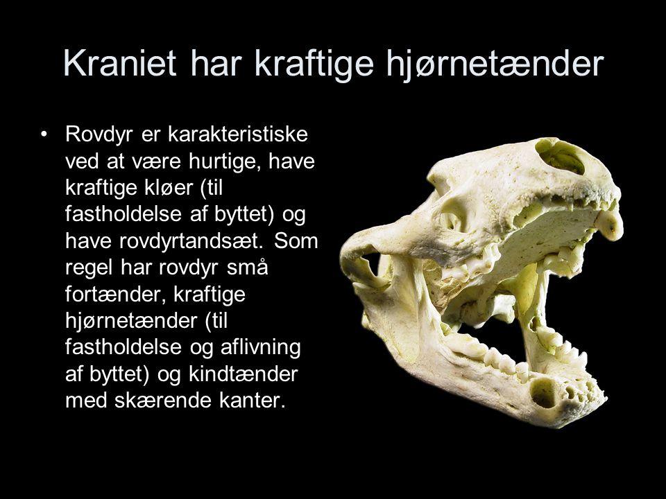 Kraniet har kraftige hjørnetænder