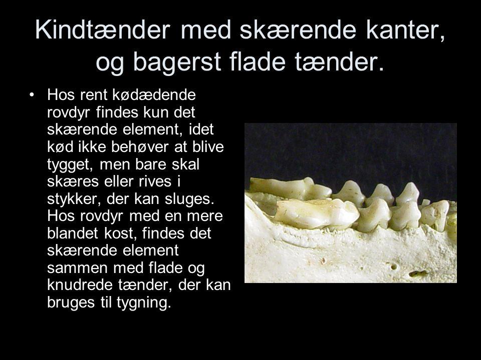 Kindtænder med skærende kanter, og bagerst flade tænder.