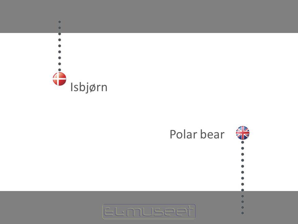 Isbjørn Polar bear